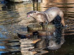 What a delicious meal! (kleiner_eisbaer_75) Tags: water animal wasser meal otter tier mahlzeit badmergentheim fischotter mahl nature germany deutschland ngc natur