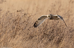 Low Level Hunting (Steve (Hooky) Waddingham) Tags: animal countryside canon bird british nature flight prey photography planet owl short wild wildlife winter hunting