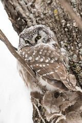 Beauté d'hiver / Winter beauty (anniebevilacqua) Tags: owl chouette nyctaledetengmalm borealowl winter hiver neige snow aegoliusfunerius