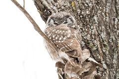La vamp d'hiver / Winter's vamp (anniebevilacqua) Tags: chouette owl nyctaledetengmalm borealowl funerius snow neige winter hiver aegoliusfunerius