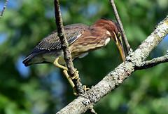 810_3556. Green Heron (laurie.mccarty) Tags: bird nature naturephotography wildlife greenheron bokeh tree