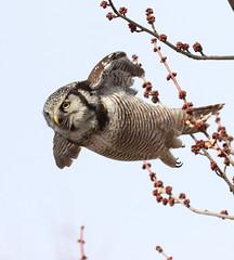 Bungeeeeee (sysmik.yves) Tags: chouetteépervière northernhawkowl chouette rapace stliguori bungee
