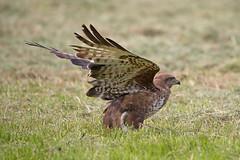 Buzzard (drbut) Tags: buzzard buteobuteo birdofprey raptor avian bird birds farmland countryside wildlife nature