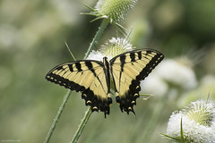 Butterfly 2019-198 (michaelramsdell1967) Tags: butterfly butterflies nature macro animal animals insect insects green yellow black tiger longwing vivid vibrant beauty beautiful pretty lovely meadow wings upclose closeup bug bugs wildlife delicate fragile thistle bokeh zen swallowtail