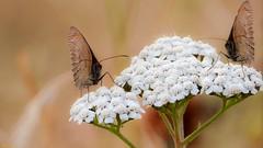 TWO - 7944 (✵ΨᗩSᗰIᘉᗴ HᗴᘉS✵90 000 000 THXS) Tags: butterfly papillon flower flora nature sony sonydscrx10m4 belgium europa aaa namuroise look photo friends be yasminehens interest eu fr party greatphotographers lanamuroise flickering challenge