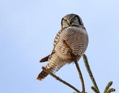 Chouette Épervière / Northern Hawk Owl (sysmik.yves) Tags: chouetteépervière northernhawkowl chouette rapace stliguori