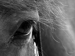 Tornado (Anne*°) Tags: ©annedhuart annedhuart 2018 animal animaux bw blackandwhite cheval eye faune nb noiretblanc oeil regard cof091 cof091dmnq cof091lep cof091patr cof091mari cof091mire cof091mark cof091roan cof091mcas bestcapturesaoi cof0912007 elitegalleryaoi aoi cof091chri cof091radm