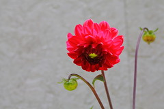 Dahlia IMG_0499 (Paul_Paradis) Tags: blossom fleur flora floral flower plant plante nature natural ete summer dahlia macro canada quebec iledorleans jardin garden