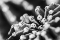 No es un camino de rosas (Egg2704) Tags: cactus planta naturaleza naturalia macro macrofotografía fotografíamacro blancoynegro blackandwhite blanconegro blackwhite bn byn monocromo monochrome espinas eloygonzalo egg2704