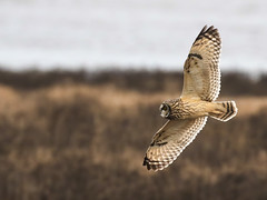 """The SEO fits in so well with its surroundings. Those beautiful tawny colours are so so striking. (island deborah- New Book """"Song of the Sparrow"""" vig) Tags: blue shorteared owl raptor islandeborah birdsofprey estuary"""