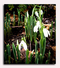 Snowdrops (celticlandscapephotography) Tags: snowdrops springtime white flowers
