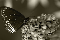 This was the last moment! Then she spread her wings to fly! (debmalyamazumder) Tags: macro macrophotography flower butterfly monochrome blackwhite nature natur naturephotography animals insects petal blooming cielo happy forest flickr bokeh blur closeup outdoor wildlife