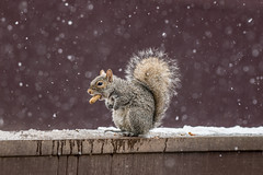 Look Ma no hands! (Dotsy McCurly) Tags: crazytuesday winter snow snowing squirrel peanut yard nj newjersey nikond850 nikon200500mm afsnikkor200500mmf56eedvr