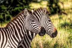 a pair of stripes (PhilHydePhotos) Tags: africa lioncub mammals mvuli safari seasonofsmallrains serengeti tanzania wildlife migration zebra