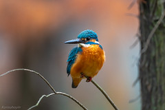 DSC_0789 (chuek.chau) Tags: kingfisher birds wildlife asia hong kong china nikon nikon500mmf56epf planet earth life animal ngc
