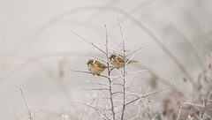 Winter (Inka56) Tags: crazytuesday winter sparrows two birds snow foggy bush branches frozen