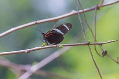Le papillon et la fourmi (alain_did) Tags: nature naturallight naturepics naturalworld naturephotograph papillon butterfly amazonie amazonia wildlife guyane proxyphoto