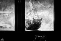 Anthony DiNozzo Came Back ❅ (Xena*best friend*) Tags: anthonydinozzo tonydinozzo ncisspecialagent ncisveryspecialagent blackcats catonwindowsill windowledge bw cats whiskers feline katzen gatto gato chats furry fur pussycat feral tiger pets kittens kitty animals piedmontitaly piemonte canoneos760d italy wood woods wildanimals wild paws calico markings ©allrightsreserved purr digitalrebelt6s canonef70300mmf456isusm flickr outdoor animal pet photo nature catlover winter ilovewinter zivadavid