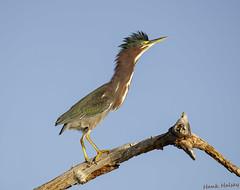 Green Heron (Hank Halsey) Tags: hhdx4581cr2 greenheron blackpointwildlifedrive florida hankhalseyphotography