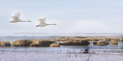 Wait for me ! (Birgitta Sjostedt) Tags: swan whooper couple winter north ice snow sea lake reed grass landscape texture