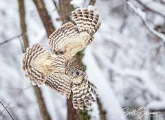 Predator... (DTT67) Tags: barredowl owl 1dxmkii bif snow canon nature