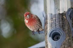 Roselin familier - House Finch, Québec, Canada - 5350 (rivai56) Tags: roselinfamilier housefinch québec canada 5350 roselin finch oiseaux bird à la mangeoire doiseaux feeder
