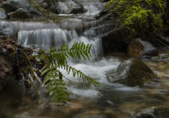 Drenched (charhedman) Tags: mosquitocreekpark runoff trails muddy ferns waterfall rocks moss nomosquitoes slipperysquishytrails northvancouver sigmaart50mmf14
