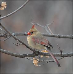Cheers (Sun~Lover) Tags: cardinal femaie littleredschoolhouse willowsprings il cardinaliscardinalis redbird common northern