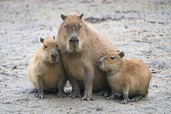 Capybara family (Tambako the Jaguar) Tags: brown budapest capybara cite family hungary looking mammal nikon posing rodent snuggling soill three together young zoo d5