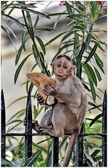 Feast (Ramalakshmi Rajan) Tags: monkey animals animal nikon nikond750 nikkor24120mm bangalore