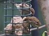 Feeding Birds, Hemel Hempstead 2019
