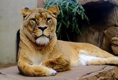 She didn't mind having her photo taken. (kev_zilla) Tags: lion lioness bigcat zoo amsterdam beautiful fujifilm 35mm