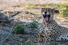 Gepard / Cheetah (brainstorm1984) Tags: acinonyxjubatus botswana cheetah chobe chobenationalpark desertdeltasafaris elangeniafricanadventures gamedrive gepard marsh predator raubtier safari savagekingdom savute savutegamereserve savutesafarilodge savuti savutichannel savutigamereserve savutimarsh wildfelinephotography wildlife
