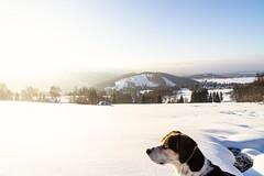 Der Sonne entgegen! Towards the sun! (polster.tobias) Tags: winter schnee snow beagle dog hund landschaftsfotographie landscape bublava tschechien czechrepublic sunrise sonnenaufgang sonyalpha zeiss weitblick wideview vogtland sachsen germany deutschland