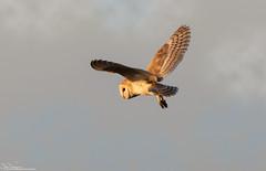 Bright Eyed Barn Owl (Steve (Hooky) Waddingham) Tags: animal countryside coast canon bird british barn nature wild wildlife prey owl