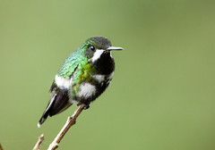 0P7A0316  Green Thorntail Hummingbird, Ecuador (ashahmtl) Tags: greenthorntail hummingbird bird discouraconversil miradorrioblanco losbancos ecuador