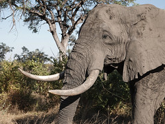 The boss (Eric Rincker Fotografie) Tags: olifant elephant animal dier safari southafrica afrika big groot krugerwildtuin zuidafrika africa portrait portret sonyrx10m4 sony reizen travelling holidy vakantie ngc