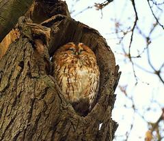 Christchurch Park Ipswich (Chris Baines) Tags: christchurch park ipswich suffolk tawny owl