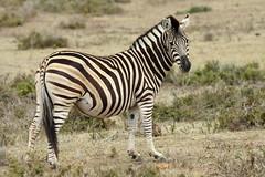 Burchell's Zebra-7D2_7381-001 (cherrytree54) Tags: canon7dmkii sigma 150600 burchells zebra hluhluwe imfolozi south africa