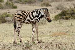 Burchell's Zebra-7D2_7379-001 (cherrytree54) Tags: canon7dmkii sigma 150600 burchells zebra hluhluwe imfolozi south africa