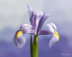 A delicate flower (Magda Banach) Tags: iris nikond850 blue colors delicacy drops flora flower green macro nature plants subtlety violet yellow