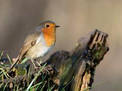 Roodborst (jandewit2) Tags: roodborstje robin vogel zangvogel natuur nederland netherlands natuurmonumenten nikon nature