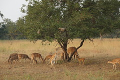 Helping Hand (steve_whitmarsh) Tags: india khajuraho pannatigerreserve animal nature monkey deer wildlife topic trees