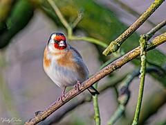 🇬🇧 Goldfinch MM 6318 (vickyoutenphoto) Tags: vickyouten goldfinch wildlife nature nikon nikond7200 wwtmartinmere burscough uk
