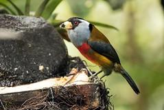 015A5468 Toucan Barbet (suebmtl) Tags: bird chocoendemic toucanbarbet semnornisramphastinus pichinchaprovince ecuador nwecuador