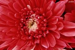 Flower * Blume * Flor * Fiore * Fleur * Цветок (Jen Buckle) Tags: red redflower flower macro macrophoto macrophotograph macrophotography floral flora jenbuckle jenbucklephotographsanything nikon nikond7500 blume blomma fleur λουλούδι bloem kwiat flor цветок ดอกไม้ çiçek fiore 花 blomst bláth floare květ fjura fotografíamacro macrophotographie makrofotografie fotografiamacro fotografiamakro макрофотография マクロ撮影 微距攝影 makrofotoğrafçılığı