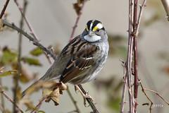 White-throated Sparrow (jt893x) Tags: bird d500 jt893x nikon nikond500 sigma sigma150600mmf563dgoshsms songbird sparrow whitethroatedsparrow zonotrichiaalbicollis