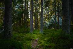Secret path (Rico the noob) Tags: dof bokeh z7 landscape nature 35mmf24 outdoor 35mm snow trees mf tree travel forest manualfocus 2019 finland published