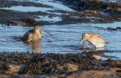 Splish Splash.. Curlews Taking A Bath (Steve (Hooky) Waddingham) Tags: animal countryside coast canon bird british wild wildlife wader photography planet nature northumberland