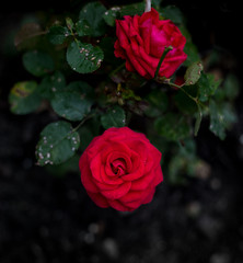 Увядание красной розы на черном фоне (ansatearth) Tags: роза земля фотография увядание nanaccept creativemarket photos nature photography popular черный фон цветок красный